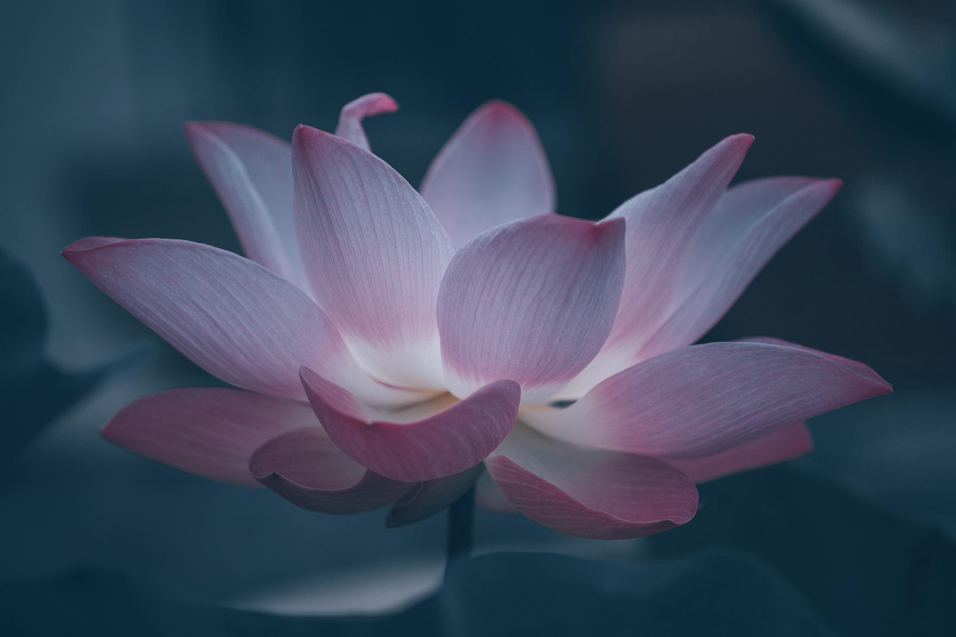 lotus-6474572_1920